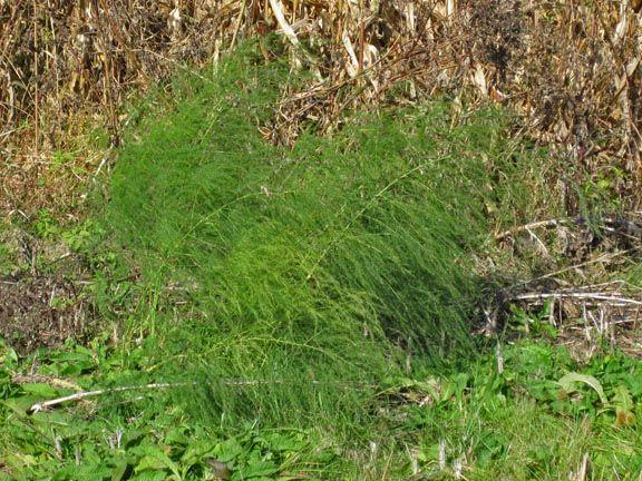 Wild Asparagus Plant One Wild Asparagus Plant